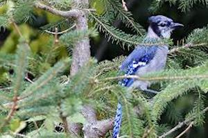 birding bluejay