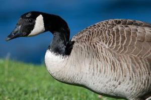 birding canada goose