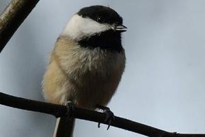 birding chickadee