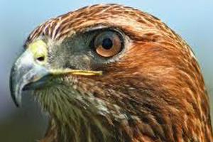 birding redtail hawk