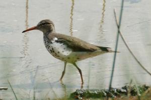 birding sandpiper