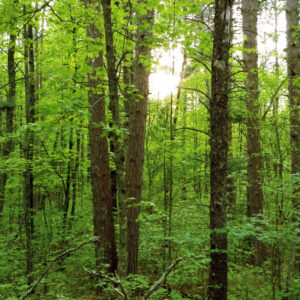 MN Forests