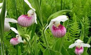 Lady Slipper State Flower